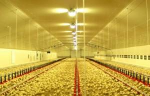 poules c lines orleans